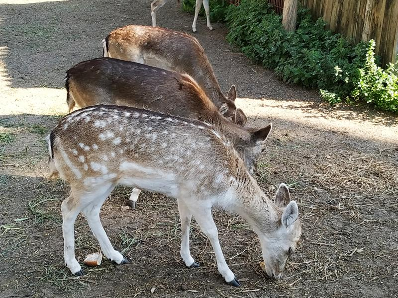 Female deer in captivity in Ayamonte zoo, province, Huelva, Spain, Andalucia, Europe. Photo taken 2019 royalty free stock photography