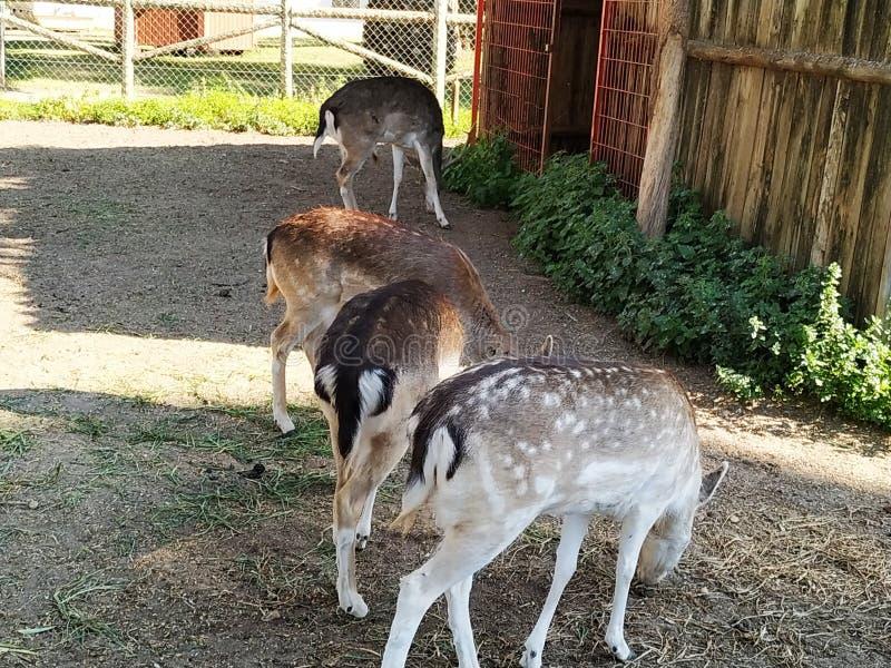 Female deer in captivity in Ayamonte zoo, province, Huelva, Spain, Andalucia, Europe. Photo taken 2019 royalty free stock image