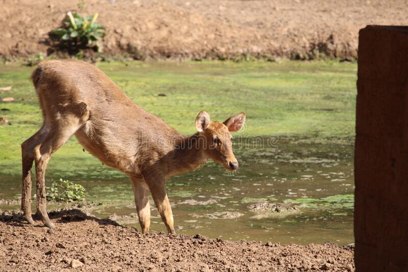A female deer is drinking water in the pool where pool is fully covered with dirt and algae. A young animal is fearful and fragile stock photography