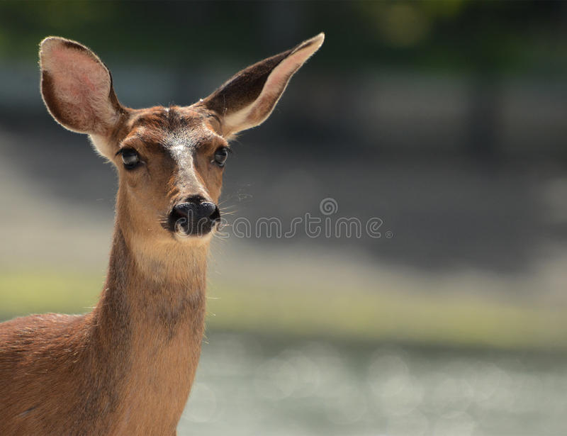 Download Female Deer stock image. Image of closeup, inquisitive - 97550905