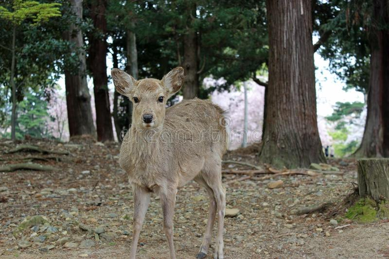 Female deer royalty free stock photography