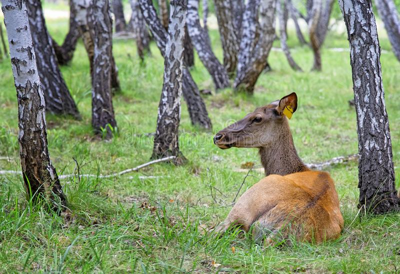 Female deer-maral in the birch forest on the farm stock photo
