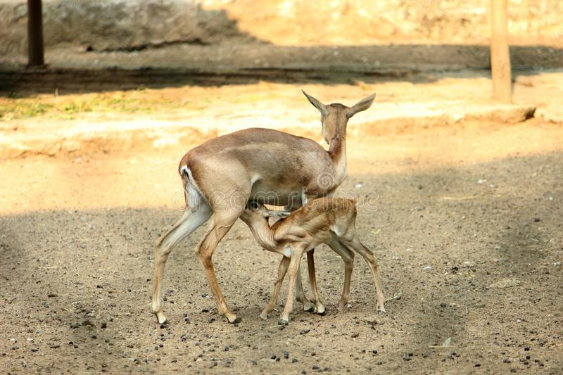 Female deer & young fawn feeding at VOC Park royalty free stock photography