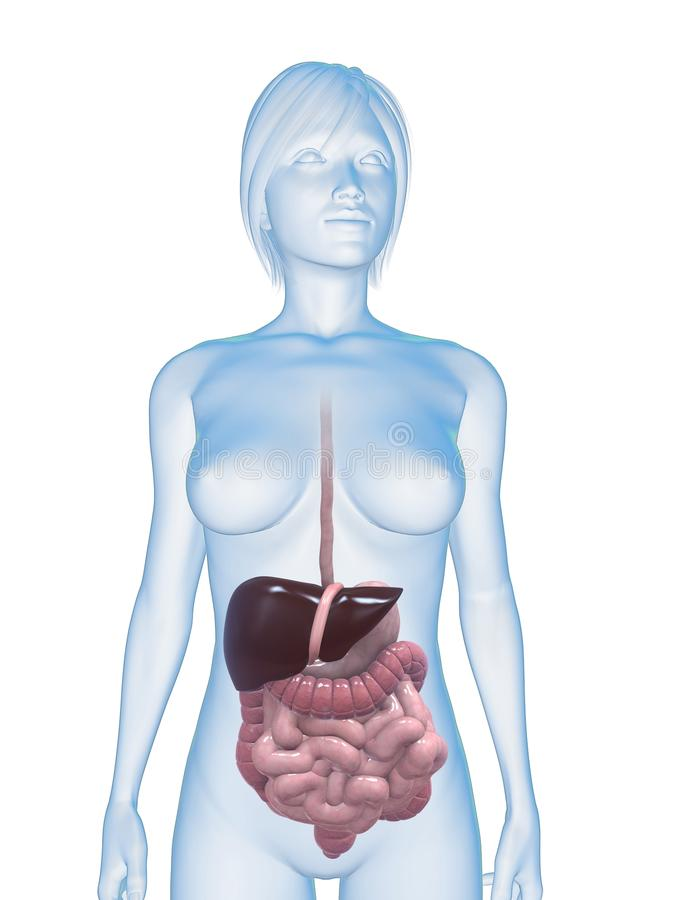 Female digestive system stock photo