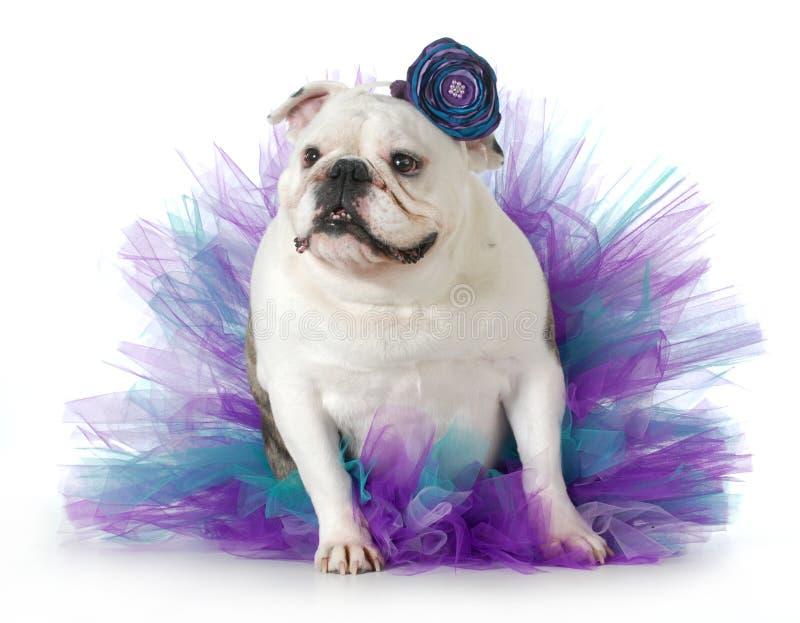 Female dog. Spoiled dog - english bulldog dressed up wearing a tutu isolated on white background royalty free stock photos