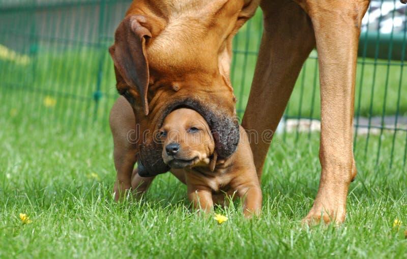 Female dog teaching puppy stock image