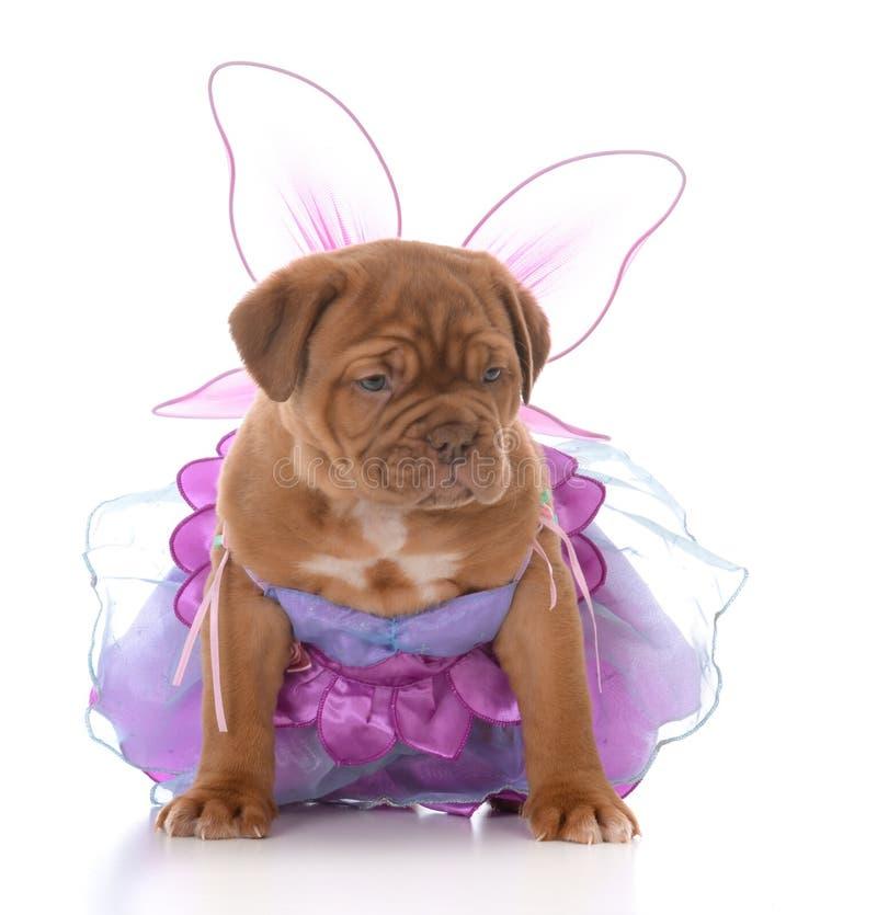 Female dogue de bordeaux puppy royalty free stock images