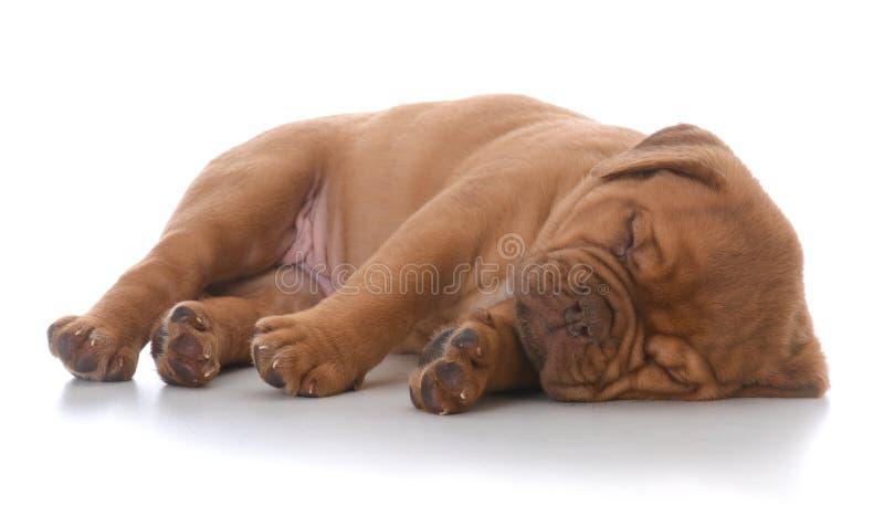 Female dogue de bordeaux puppy sleeping stock image