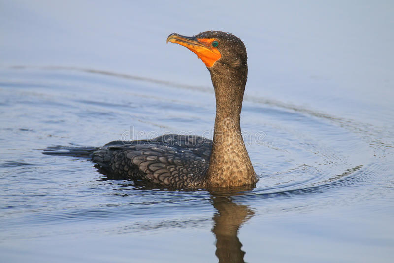 Female Double-crested cormorant swimming stock image