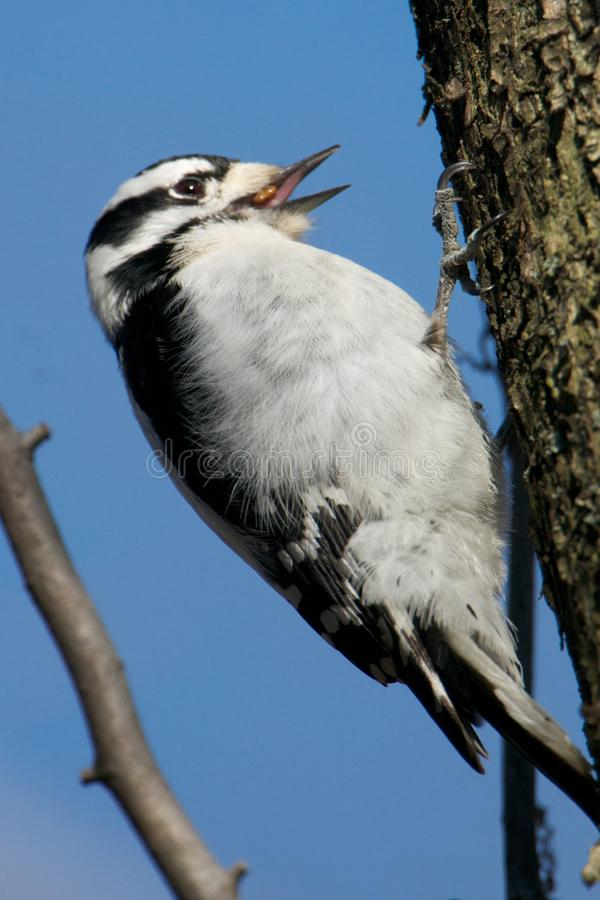 Download Female Downy Woodpecker stock image. Image of female - 23547735