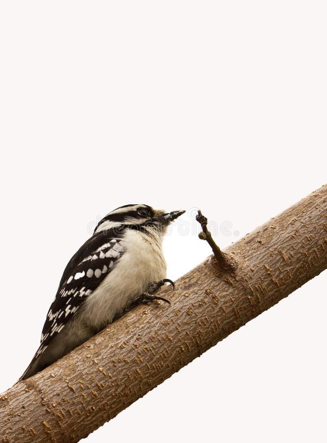 Female Downy Woodpecker. On branch with white background stock images