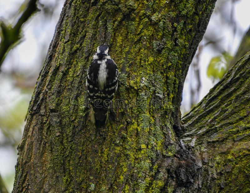 Female Downy Woodpecker. This is a Spring picture of a male Northern Cardinal bidding in a hedge in the Montrose Point Bird Sanctuary on Lake Michigan located in stock photo