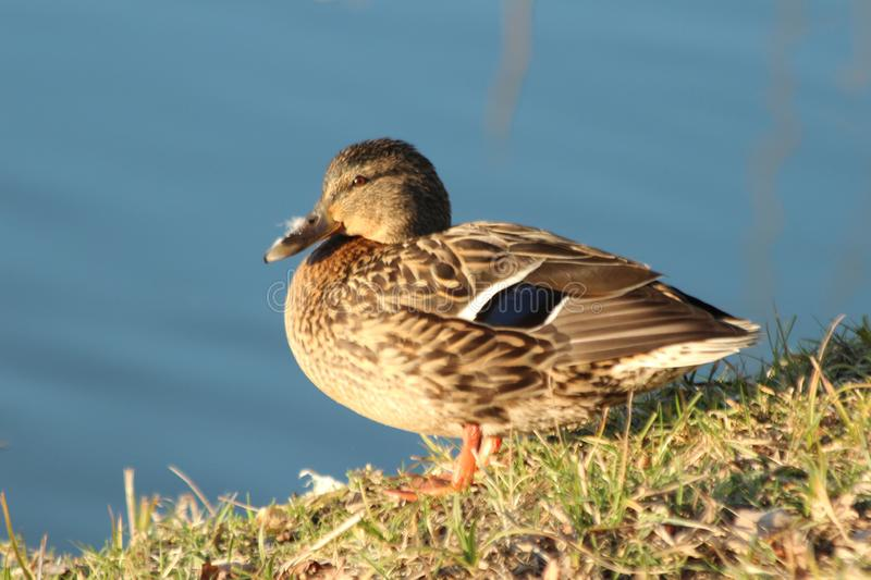 Female duck in brown color in the sunlight on the waterside. Female duck in brown color in the sunlight on the waterside royalty free stock photo