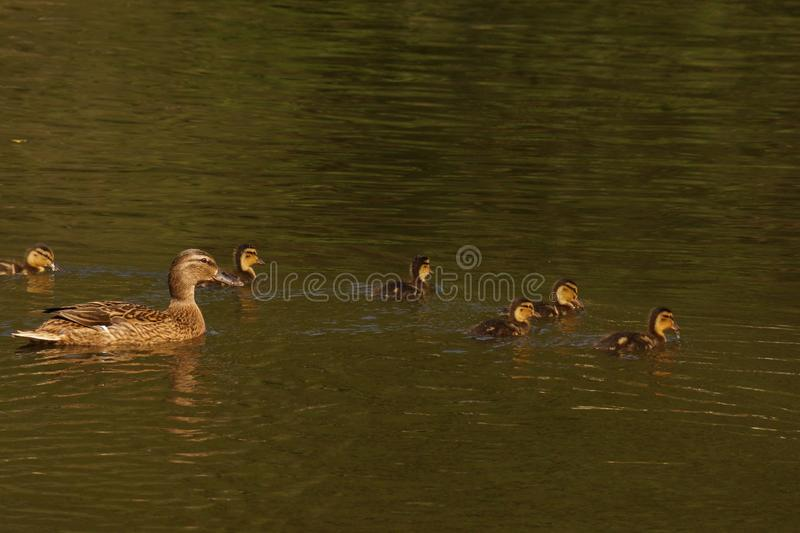 A female duck and ducklings - France. A female duck with its ducklings which swim quietly some behind the others. They are in the pond of the mute. The lake is royalty free stock photos