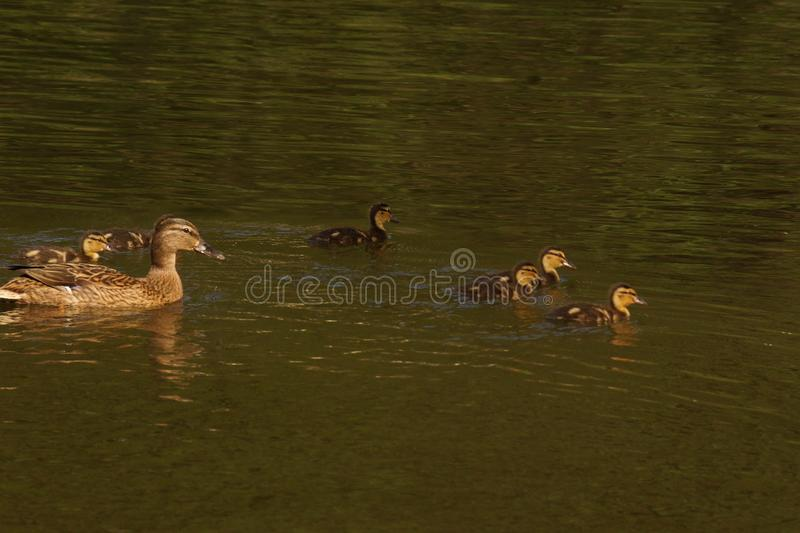 A female duck, ducklings and the lake - Elancourt - France. A female duck with its ducklings which swim quietly some behind the others. They are in the pond of royalty free stock images