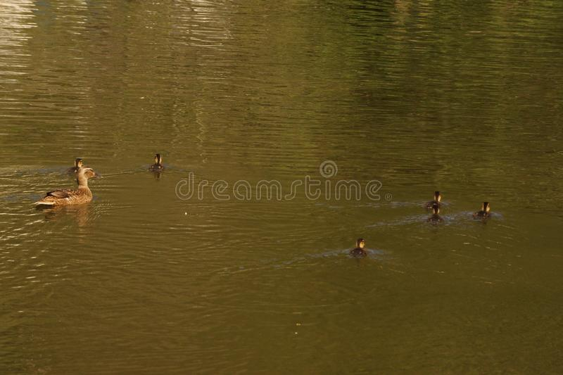 A female duck, ducklings and the lake - Elancourt - France. A female duck with its ducklings which swim quietly some behind the others. They are in the pond of stock photos