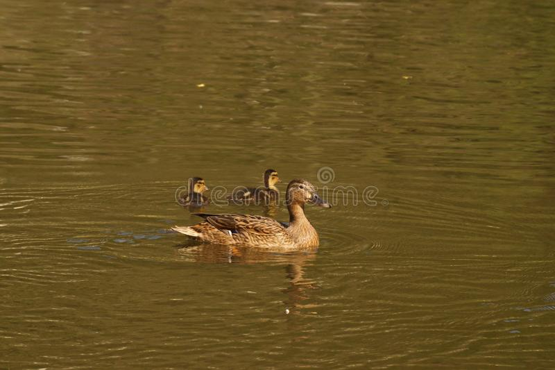 A female duck, ducklings and the lake - Front view - France. A female duck with its ducklings which swim quietly some behind the others. They are in the pond of royalty free stock photos