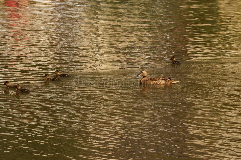 A female duck and ducklings - Seen from a distance - France. A female duck with its ducklings which swim quietly some behind the others. They are in the pond of stock image