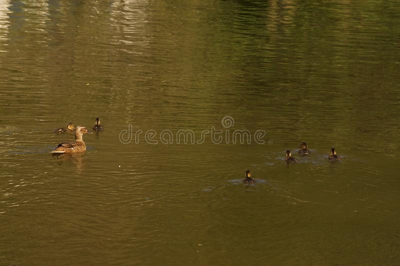 A female duck, ducklings and the lake - France. A female duck with its ducklings which swim quietly some behind the others. They are in the pond of the mute. The stock images