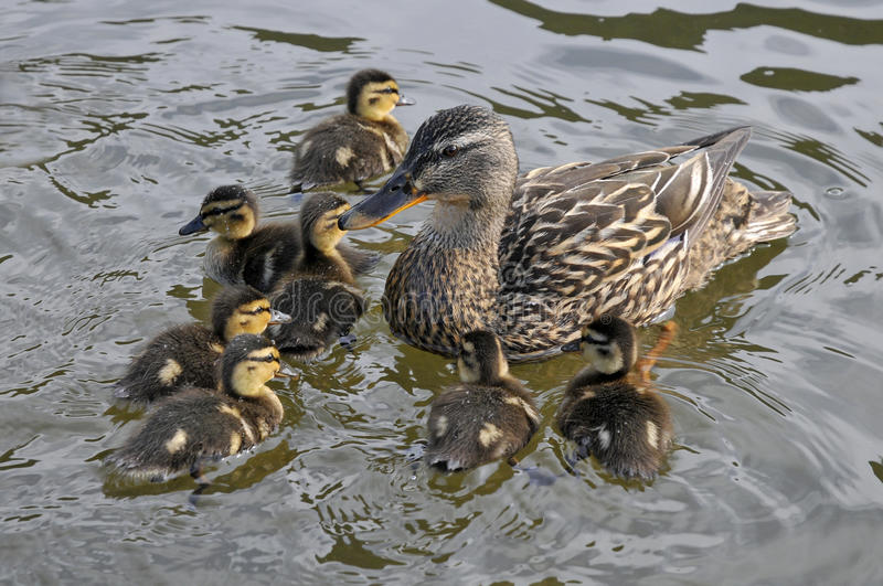 Download Female Duck Mallard With Its Ducklings Stock Photo - Image of mother, bill: 12333298