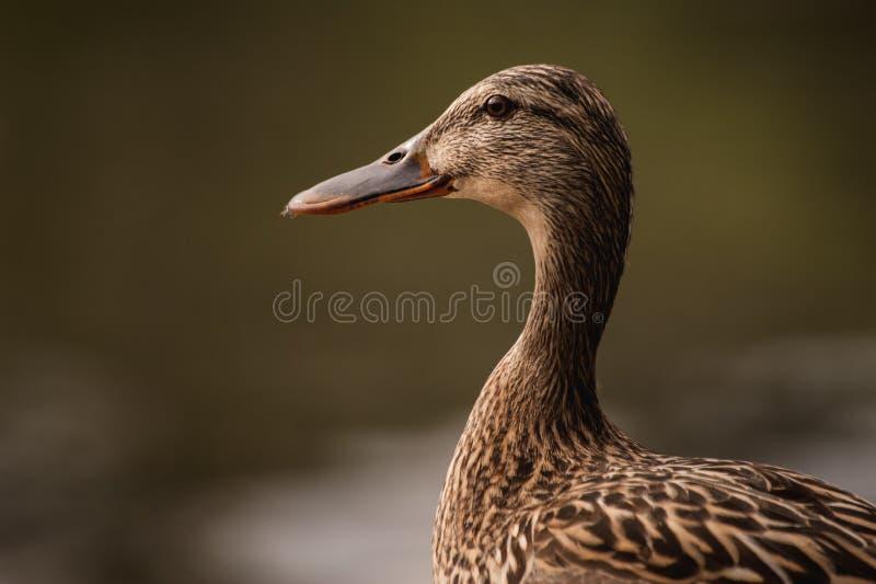 Female duck portrait on blurred background stock photo