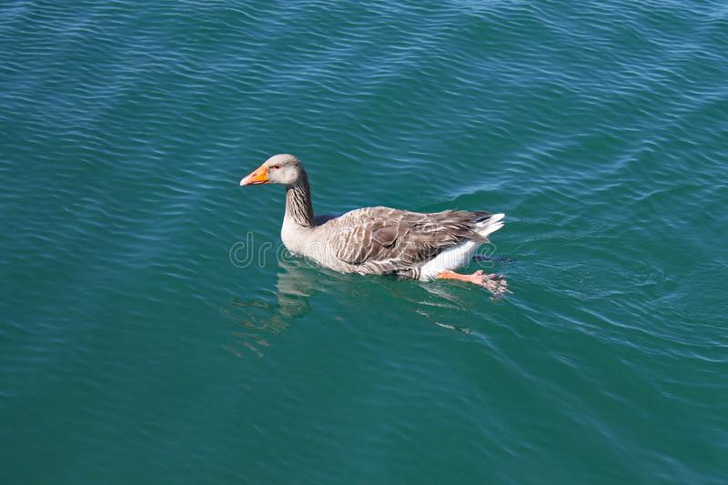 A female duck swims slowly across a lake and the water ripples around her stock photo