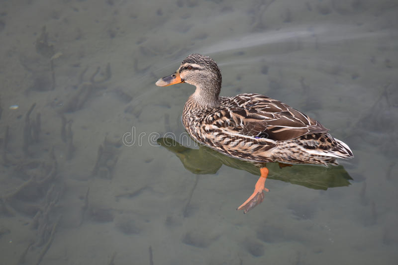 Female duck on water surface. Female Mallard duck swimming in calm water stock photo
