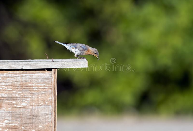 Eastern Bluebird carry food to nest box, Walton County, Georgia USA. Female Eastern Bluebird bird with grasshopper in mouth for babies in nest in duck box stock photo