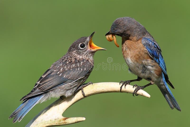 Female Eastern Bluebird Feeding A Baby. Female Eastern Bluebird (Sialia sialis) feeding a hungry baby on a deer antler stock photography