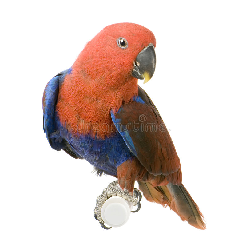Free Female Eclectus Parrot Royalty Free Stock Photography - 2314517