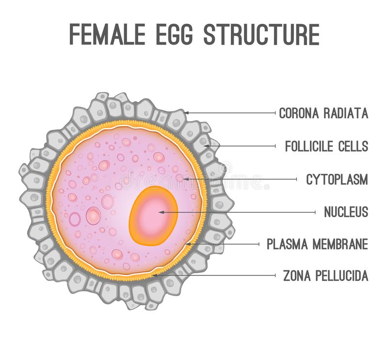 Female egg structure stock vector. Illustration of ovulation - 101017475