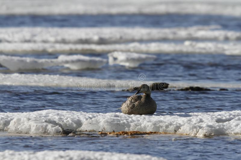 Female eider duck sitting on ice floating around in cold icy water, near Arviat. Nunavut Canada stock image