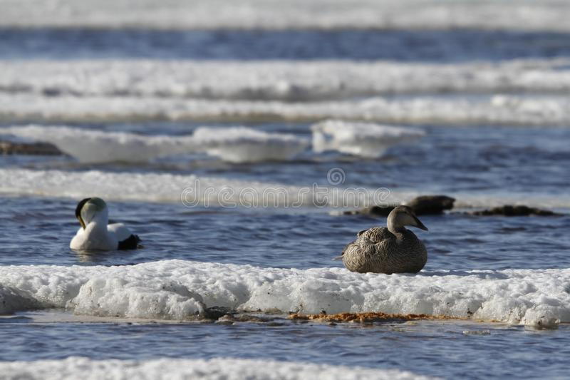 Female eider duck sitting on ice while male eider duck is floating nearby in cold icy water stock image