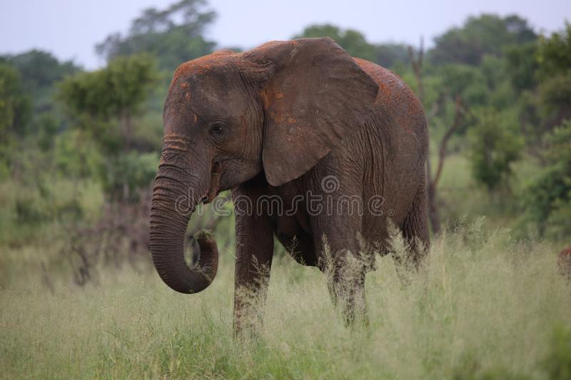 Female Elephant with Mud Sun Lotion in Hwage National Park, Zimbabwe, Elephant, Tusks, Elephant`s Eye Lodge. Elephant in Hwage National Park, Zimbabwe, Elephant stock image