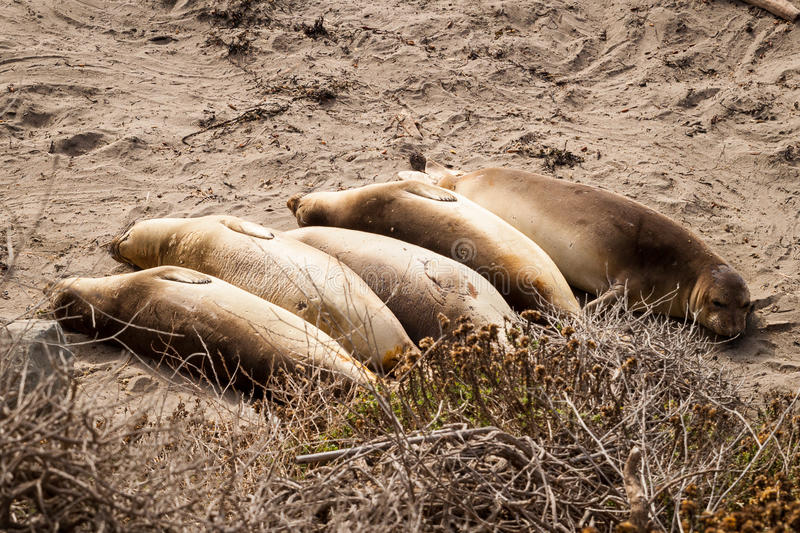 Female elephant seal in San Simeon royalty free stock photo