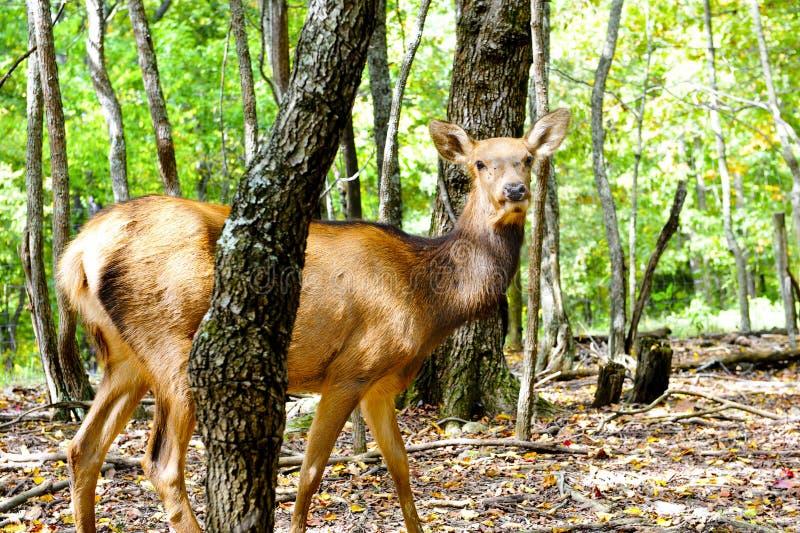 Female Elk Royalty Free Stock Photography