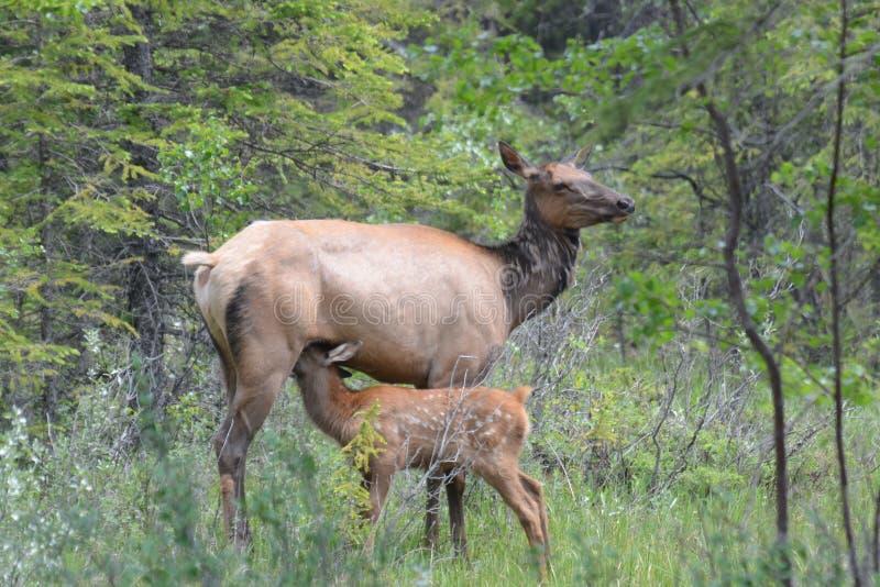 Female Elk nursing her fawn stock photography