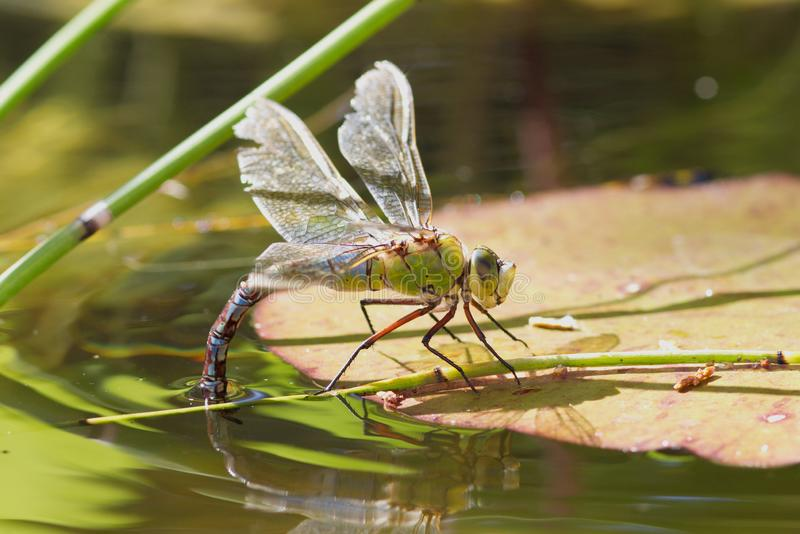Female Emperor Dragonfly ovipositing on a lily pad. royalty free stock images