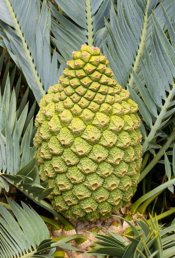 Female Encephalartos lehmannii cycad cone. Closeup royalty free stock image