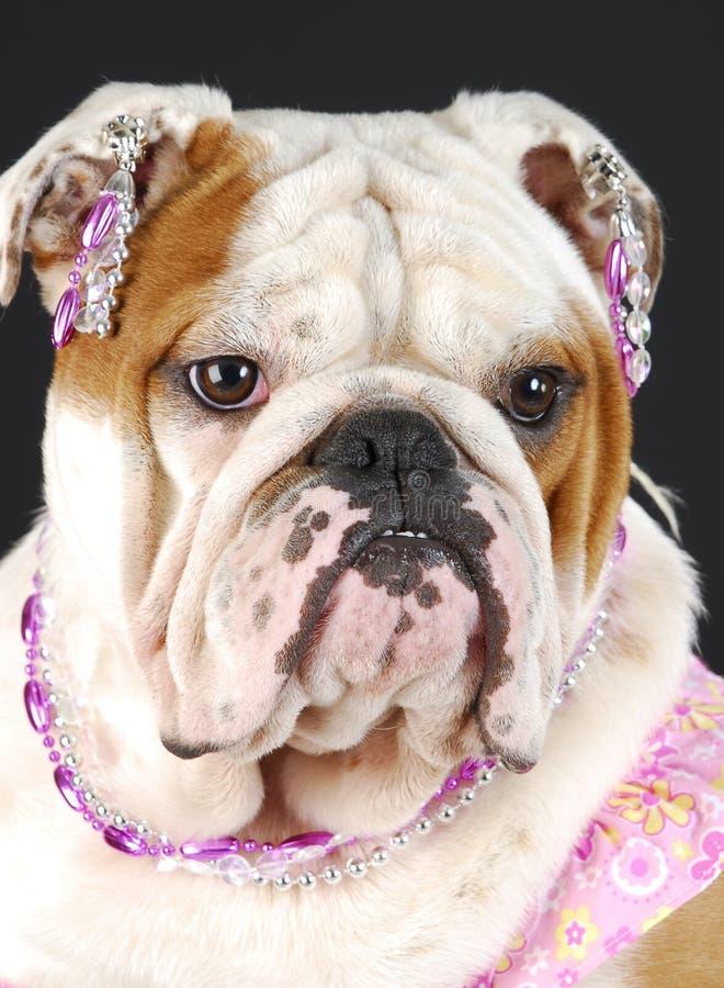 Female english bulldog royalty free stock photos