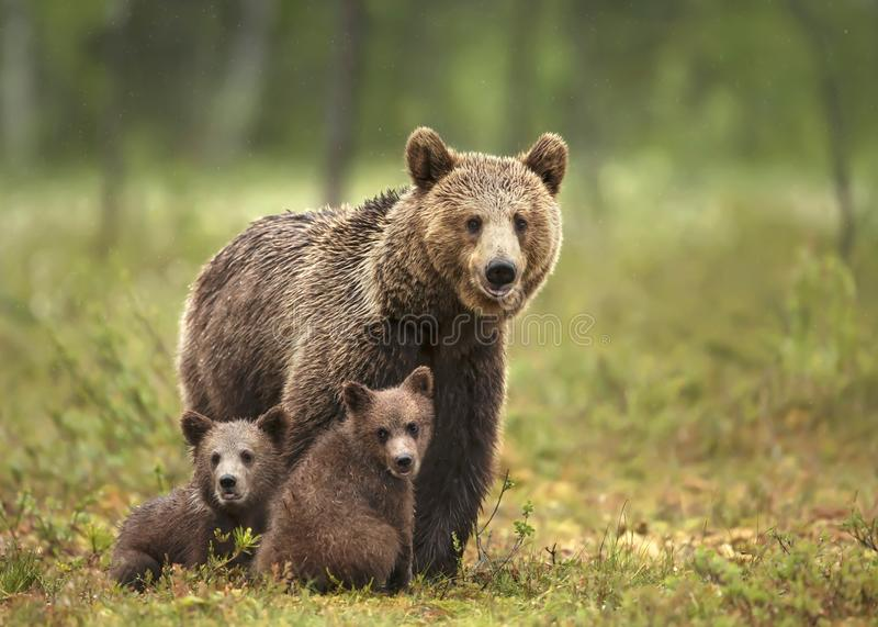 Female Eurasian brown bear and her cubs in boreal forest stock images