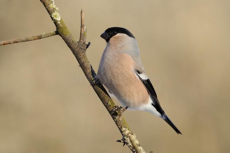 Female eurasian bullfinch in the rays of the rising sun sitting on the branch with brown background. Female eurasian common bullfinch Pyrrhula pyrrhula in the stock photo