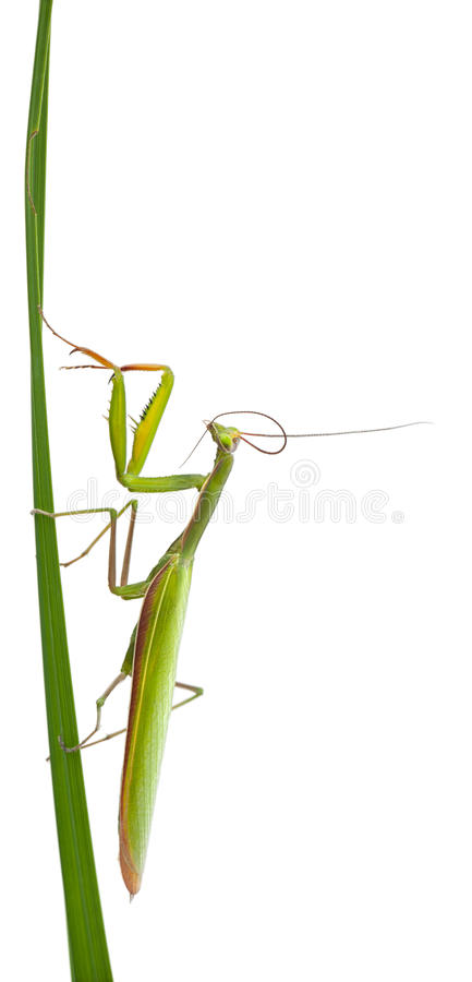 Download Female European Mantis stock image. Image of alone, isolated - 24991409