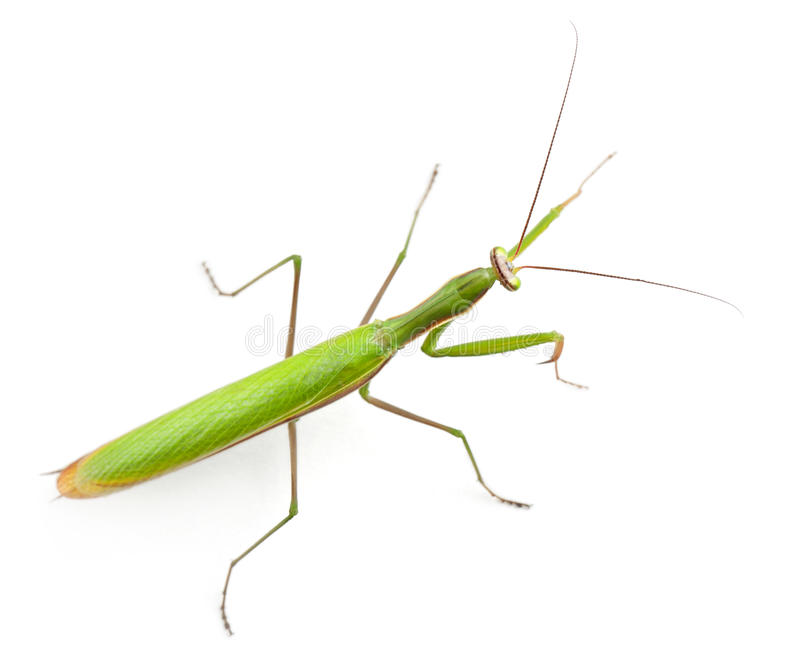 Female European Mantis or Praying Mantis, Mantis stock photo