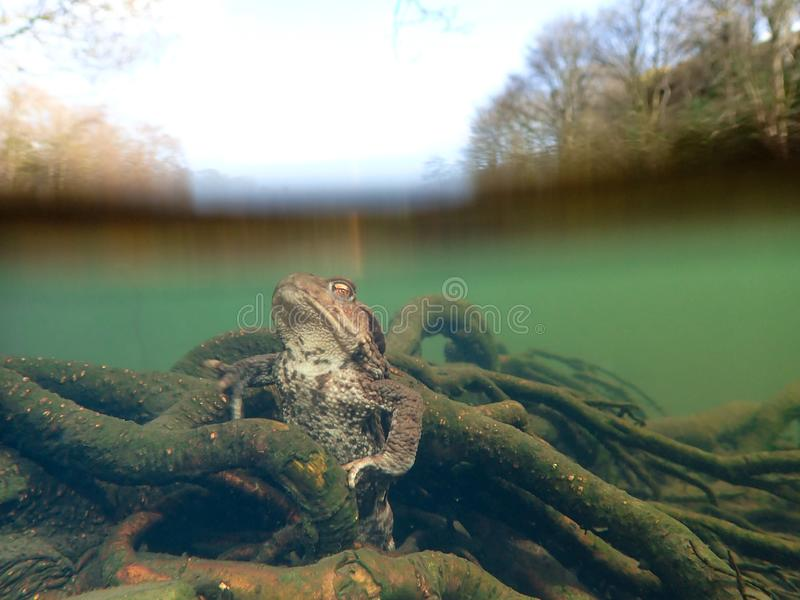 Female European toad, Bufo bufo. Closeup wide-angle underwater split royalty free stock images