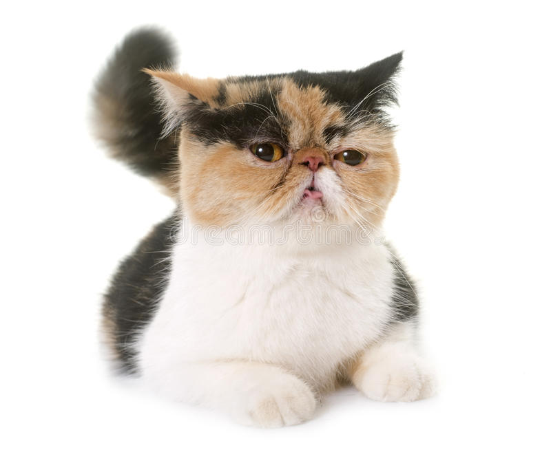 Female exotic shorthair cat in heat. Tricolor exotic shorthair cat in heat in front of white background royalty free stock images