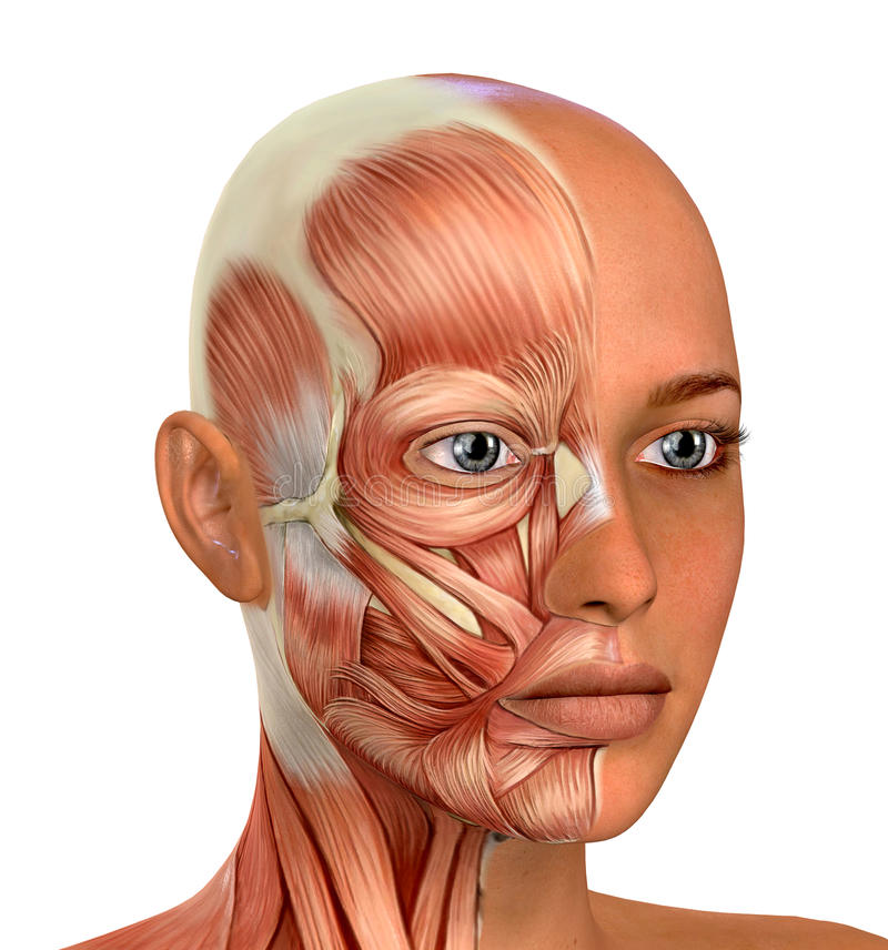 Free Female Face Muscles Anatomy Royalty Free Stock Photography - 68807547