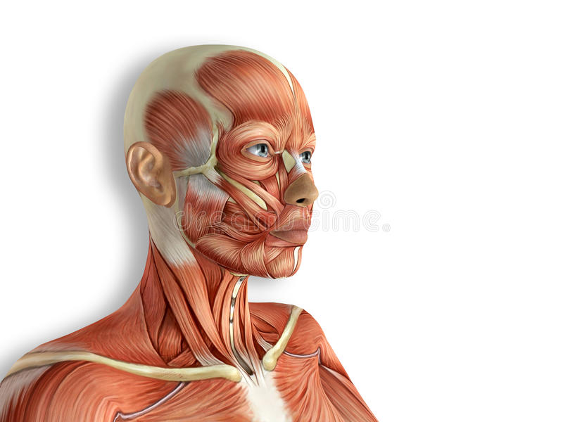 Female Face Muscles Anatomy royalty free illustration