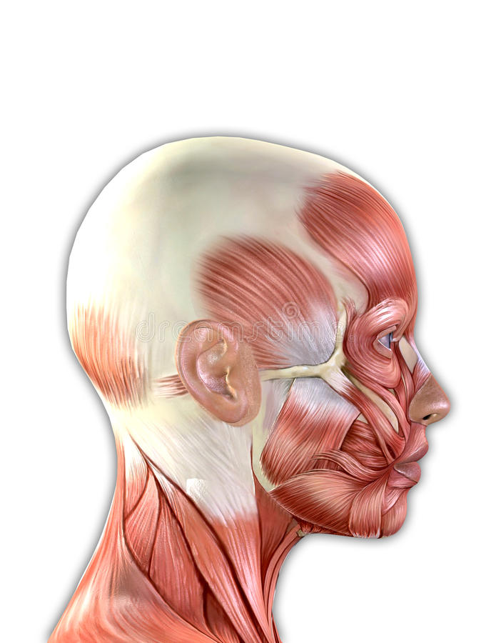 Female Face Muscles Anatomy vector illustration