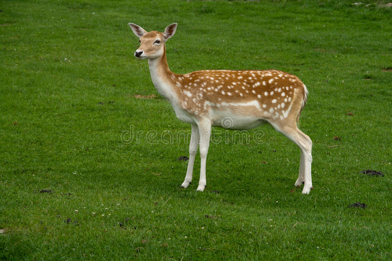 Download Female Fallow Deer stock photo. Image of deer, wild, female - 19938276